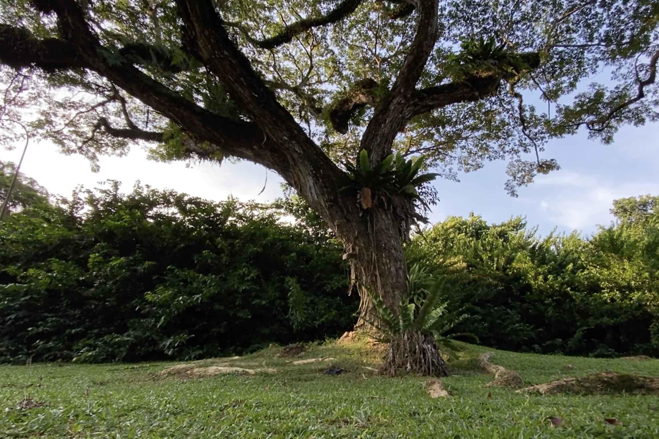 Sustainable wood from Monkey Pod Trees